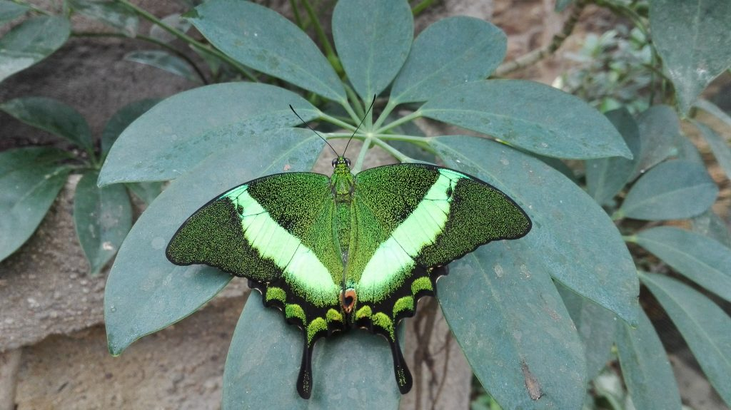 Otakárek | Emerald Swallowtail | Papilio palinurus