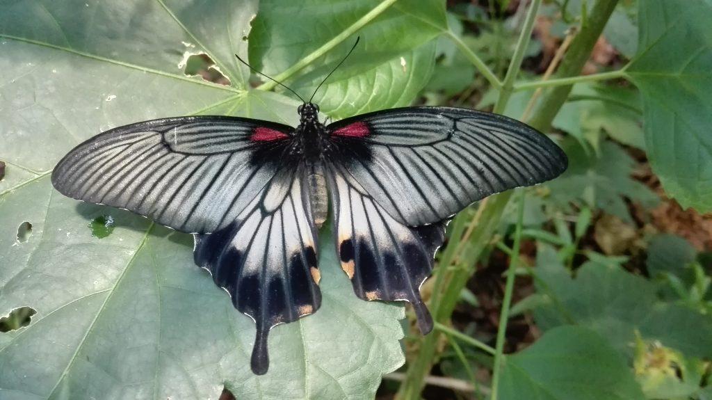 Otakárek | Great Yellow Mormon | Papilio lowi