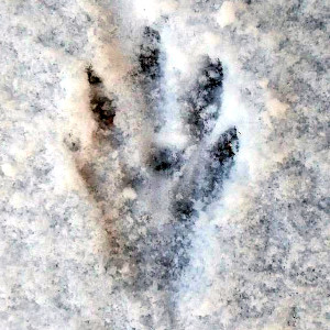 Stopa bobra ve sněhu